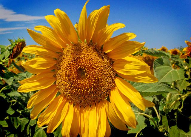 Sunflowers#1
