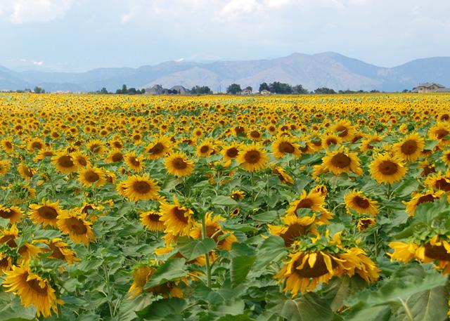 Sunflowers#2