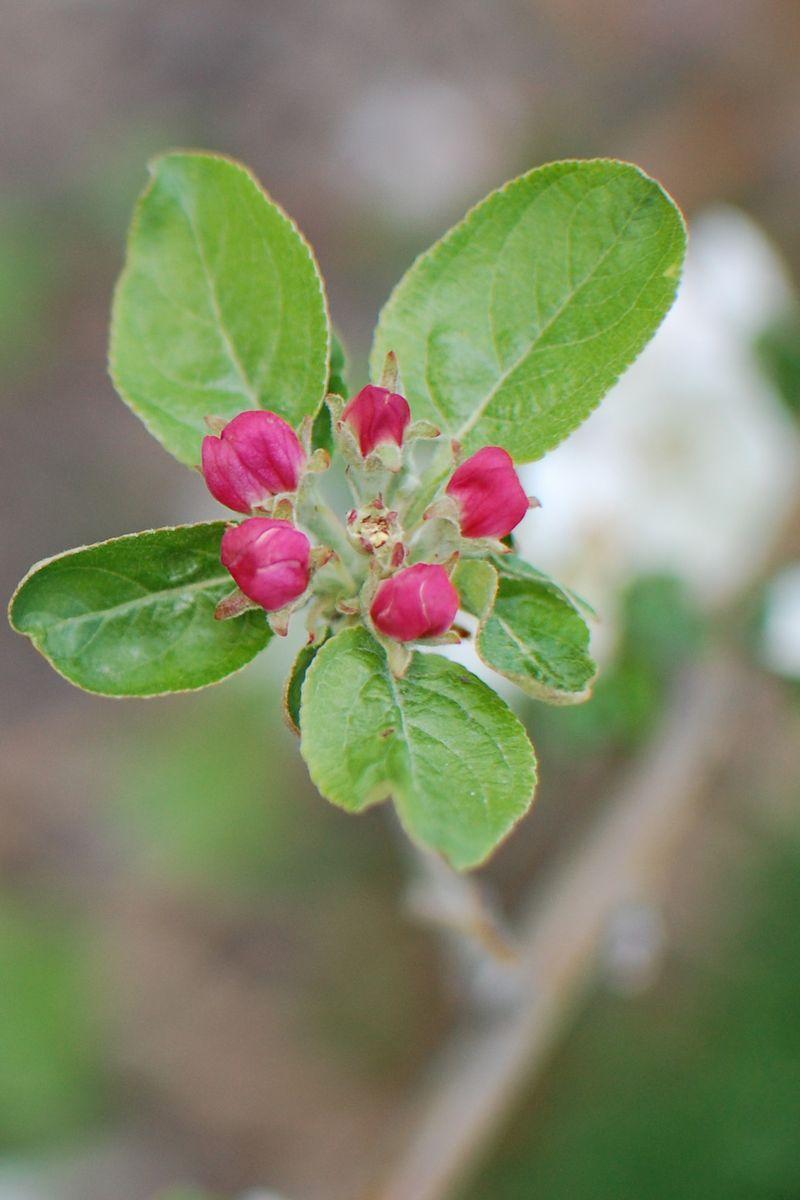 Apple blossom 2
